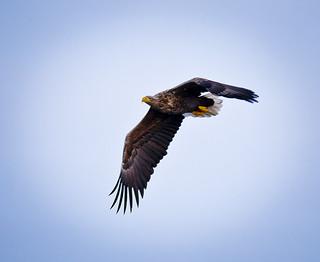 Àguila marina / White-tailed eagle