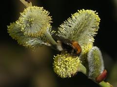 Tree Bumblebee (ukstormchaser (A.k.a The Bug Whisperer)) Tags: tree bumblebee bee bees uk animal animals wildlife bucks buckinghamshire milton keynes afternoon macro goat willow bud buds