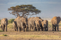 Morning March (Jill Clardy) Tags: explored explore matriarch tree acacia drive game morning daily migration family elephant park national amboseli africa kenyaafricaamboselinationalparksafarimorning kenya