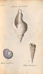 n84_w1150 (BioDivLibrary) Tags: greatbritain mollusks museumsvictoria bhl:page=57640293 dc:identifier=httpsbiodiversitylibraryorgpage57640293 conchologicaldictionary conchology shells britishisles britishislands williamturton british
