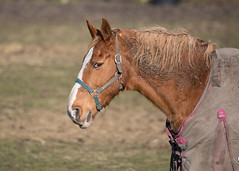 Sad looking horse (Mibby23) Tags: horse animal equine sad canon 5dmk4 sigma 150600mm contemporary mammal