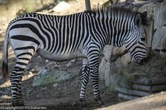 Zèbre de Hartmann_190221_RAS (f.chabardes) Tags: zèbredehartmann france aude réserveafricainesigean enclos hartmannsmountainzebra fevrier equidae mammifères languedoc equuszebrahartmannae 1t périssodactyles narbonnais 2019 animaux parcoursàpied