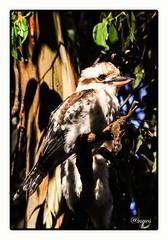 Young Kookaburra (ag&ph2010) Tags: kookaburra bush australia bird australianbird melbourne dandenongranges victoria fauna