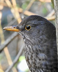 Blackbird (LouisaHocking) Tags: wild wildlife nature southwales wales cardiff forest farm british uk femaleblackbird blackbird bird profile thrush gardenbird