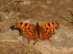 Comma Butterfly (Severnrover) Tags: comma butterfly uk spring butterflies insect sunbathing