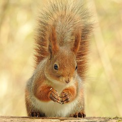 Red Squirrel (Sciurus vulgaris) (eerokiuru) Tags: redsquirrel sciurusvulgaris eichhörnchen orav animalplanet animal wildlife nature p900 nikoncoolpixp900