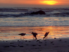 Dinner time (fractalv) Tags: california pacificcoasthighway pacific ocean beach sunset birds