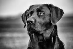 March girl (uwe.kast) Tags: labrador labradorretriever labradorredriver hund haustier dog bichou black blackandwhite panasonic lumix g9 100300