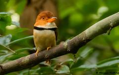 Collared Puffbird (Bucco capensis) - Yasuni, EC (bcbirdergirl) Tags: orellananaponapowildlifecentre collaredpuffbird puffbird puffbirds yasuni yasuninationalpark ecuador amazon amazonia southamerica buccocapensis