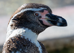 Humboldt Penguin (SouthamptonPete) Tags: marwell penguin bird wildlife nature humboldt animal zoo