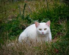 un altro gatto erbivoro (fotomie2009) Tags: cat gatto fauna animal feline felino white prato