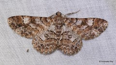Geometer Moth, Iridopsis cinerascens? Geometridae (Ecuador Megadiverso) Tags: andreaskay ecuador geometermoth geometridae moth wildsumaco boarmiini