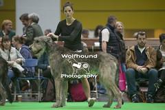 img_9999_527 (HoundPhotographer) Tags: irishwolfhound wolfhound hound crufts crufts2019 showdog dogshow