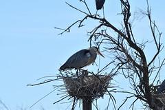 pont de Gau (philjacq77) Tags: philjacq nikon oiseau bird pontdegau camargue nature etang héron parcornithologique