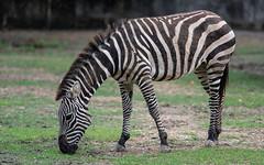 zebra2 (Ronnie Newman Photography) Tags: zebra horse photography photos photo nikonphotography nikon nikond750 animal animals animalphoto animalphotography animalphotos nature naturephoto naturephotography