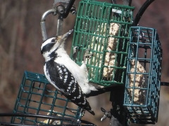 Hairy Woodpecker IMG_1056 (Ted_Roger_Karson) Tags: canonpowershotsx50hs northernillinois handheldcamera miniaturecompactpocketcamera backyardbirds backyard birdfeeder add tags birds bird feeder woodpecker redbellied back yard friends northern illinois canon sx280 hs powershot miniature compact pocket camera male seed cake zoom animals suet telephoto thisisexcellent twop test photo hand held minicompact food bell downy hairy h