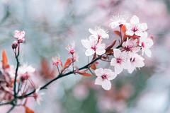 Blossom II (craig.denford) Tags: blossom windsor berkshire canon 7d mk ii craigdenford