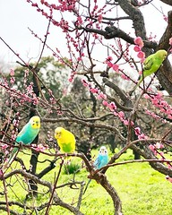 It's a warm and lovely day, strolling around the #Castle park, and spotting these #Colorful #Parakeet #Bird flocked into the #Sakura #Trees  #Cherry #Blossoms  #Spring in #Osaka #Japan (yongki_milanda) Tags: instagramapp square squareformat iphoneography uploaded:by=instagram