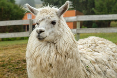 puertovaras5_feb2019 (YenC) Tags: chile travel southamerica puertovaras animals alpaca