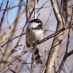 Chickadee (apmckinlay) Tags: animals birds chickadee nature ruralmunicipalityofcormanpar saskatchewan canada ruralmunicipalityofcormanparkno344 ca