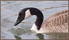 CanadaGoose_6D_4724 (CrzyCnuk) Tags: canadagoose calgary alberta canon canon6d wildlife birds