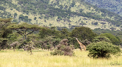 GIRAFFE 3 (Nigel Bewley) Tags: tanzania africa wildlife nature wildlifephotography nigelbewley photologo appicoftheweek giraffe giraffacamelopardalis march march2019 tarangirenationalpark safari gamedrive