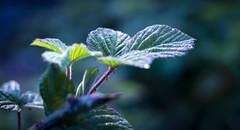 feuille -1 (yanngeorget35660) Tags: feuille ronce épine vert