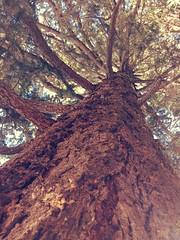 HTMT (Mr. Happy Face - Peace :)) Tags: tree forest banff alberta canada htmt tuesday mendous theme art2019 textures douglasfir