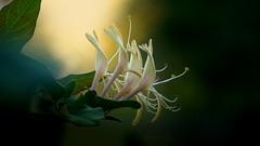 Az utolsó őszi virágok (Lonicera japonica) (Van'elise) Tags: lonicera japonica sárga virágok