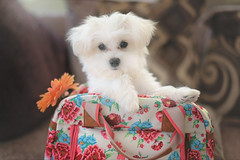 Puppies and Flowers... (KissThePixel) Tags: maltese malteseterrier puppy dog family love happy happiness flower cute shoppingbag bag funny white whitedog daisy nikon animal purebreed kennelclub 50mm f14 14