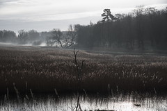 Reeds and mist (shanahands2) Tags: ramsholt reeds trees mist suffolk cloud