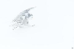 ''Braver la tempête!''Harfang des neiges-Snowy owl (pascaleforest) Tags: oiseau bird animal owl hibou passion nikon nature blanc white wild wildlife faune québec canada winter hiver snow neige