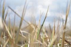 Spring melody. (ALEKSANDR RYBAK) Tags: изображения весна сезон погода природа трава боке макро крупный план абстракция images spring season weather nature grass bokeh macro closeup abstraction