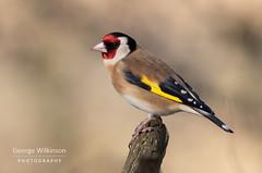 European Goldfinch (Carduelis carduelis) (George Wilkinson) Tags: european goldfinch cardueliscarduelis rspb old moor south yorkshire uk wildlife bird finch canon 7d 400mm mark ii england