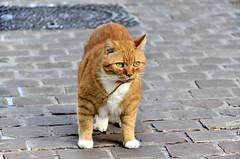 Resident of the Chartres (alexeymatyna) Tags: chartres cat pet animal рыжий кот животное tchubais