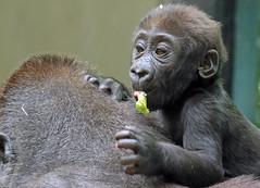 western lowlandgorilla Damsi artis 094A0071 (j.a.kok) Tags: animal artis africa afrika aap ape mammal monkey mensaap zoogdier dier primate primaat gorilla westelijkelaaglandgorilla westernlowlandgorilla lowlandgorilla laaglandgorilla damsi