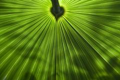 Cœur de palmier (Gerard Hermand) Tags: 1903297829 gerardhermand france paris canon eos5dmarkii serresdauteuil green greenhouse serre vert glasshouse palmier palm feuille leaf coeur heart