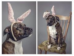 easter bunny (not too happy bunny ) 14/52 (Sigita JP) Tags: easter petportrait dog staffy cute 52weekchallenge