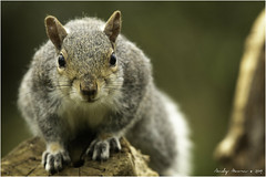 Grey squirrel (Sciurus carolinensis) (andymoore732) Tags: greysquirrel grey squerrel mammal farmland woodland parks towns gardens silver brown buff bushy fur invasive nonnativespecies nikon d500 nikonafs nikkor 300mm f4e pf ed vr swm if andymoore