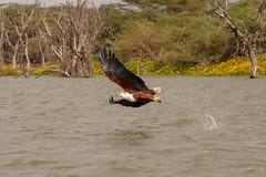 Fish Eagle snatching fish (sam.healy) Tags: fish eagle bird