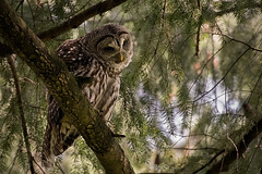 Barred Owl_1NG7052 (adventure_photography) Tags: vandusen vancouver barred owl dark forrest trees