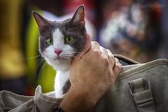 Gatto Zen - Zen Cat (Eugenio GV Costa) Tags: approvato gatto cat gatti cats animal animali domestici