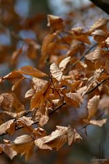 Verwelkte Blaetter (Doorega) Tags: 3200 doorega nikon3200 autumn brown daylight december forest leaves mood nature tamron wald winter