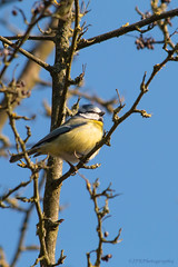 Cyanistes caeruleus (Pimpelmees) (Jean-Pierre Robbens) Tags: birds garden naturelovers naturecloseup