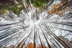 Canopy (Theaterwiz) Tags: forestcanopy greatsmokymountains lynncampprong theaterwiz tennessee middleprongtrail trees treecanopy canopy