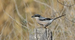 Iberian Grey Shrike      (Lanius meridionalis) (nick.linda) Tags: iberiangreyshrike southerngreyshrike laniusmeridionalis wildandfree shrikes spain canon7dmkii canon100400mkll