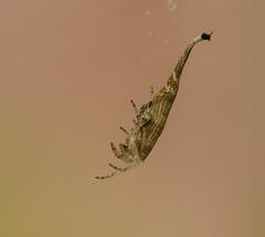 Scorpion-Tailed Spider, Arachnura higginsi, (m&em2009) Tags: spider arachnid scorpion bugs insects macro dof close up tail nikon macrounlimited