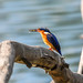 Malagasy Kingfisher (Corythornis vintsioides) with fish