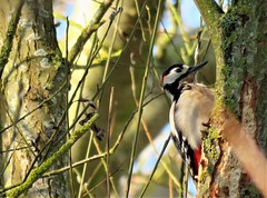 Great spotted woodpecker (marksargeant57) Tags: canonpowershotsx60hs withamwaycountrypark treebark tree branches treetrunk bird woodpecker greatspottedwoodpecker