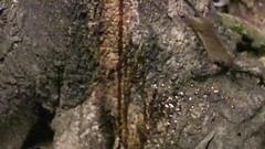 Two Antechinus (Jim Scarff) Tags: antechinus australianmammals marsupial exif:isospeed=0 camera:model=canoneos80d exif:focallength=97mm exif:aperture=ƒ000 camera:make=canon geo:location=chamberswildliferainforestlodge exif:model=canoneos80d exif:make=canon